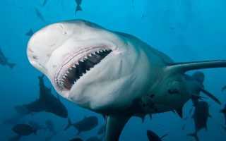 Фото бычьей акулы