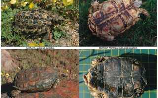 Черепаха по польски
