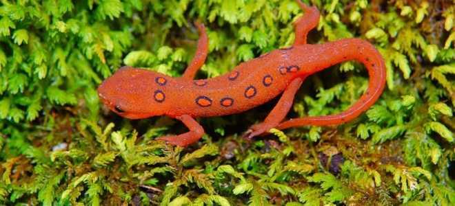 Систематика ящерицы и саламандры