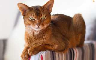 Виды домашних кошек фото с названиями
