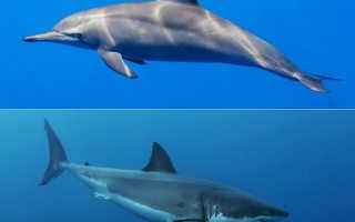 Дельфин и акула сравнение