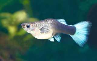 Как узнать что аквариумная рыбка беременна