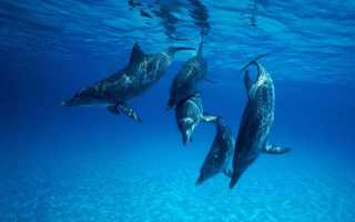 Дельфин против акулы