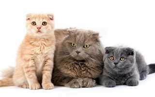Красный окрас шотландских кошек