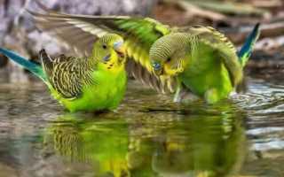 Можно ли мыть попугая