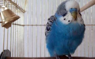 Волнистый попугайчик нахохлился