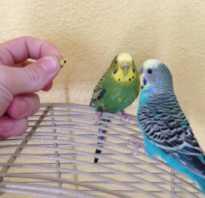 Поведение попугая во время линьки