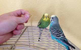 Сколько раз линяют волнистые попугаи