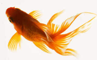 Едят ли золотые рыбки других рыб