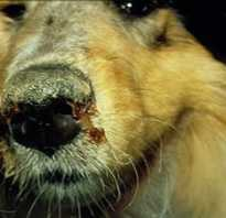 Лечение чумки у щенков