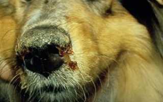 Как проявляется чумка у щенков признаки