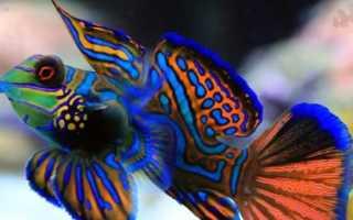 Рыба мандаринка интересные факты