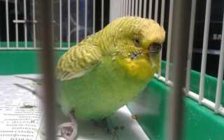 Болезни ног у попугаев