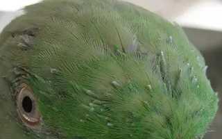 Период линьки у попугаев