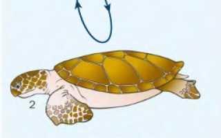 У черепахи лапы или ноги