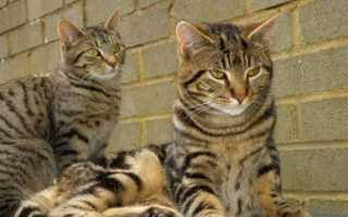 Окрас табби у кошек фото