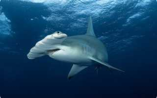 Молотоголовая акула фото