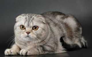Виды шотландских вислоухих кошек