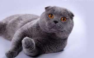 Шотландская кошка блю пойнт фото
