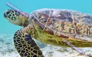 Сколько живут желтоухие черепахи