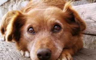 Обезболивающее для старой собаки