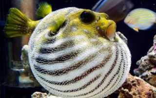 Рыба с колючками которая раздувается