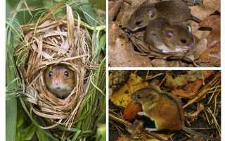 Лесная мышь фото