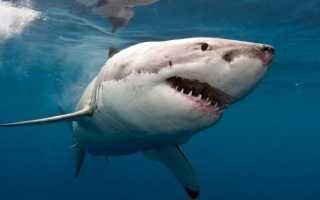 Стая белых акул