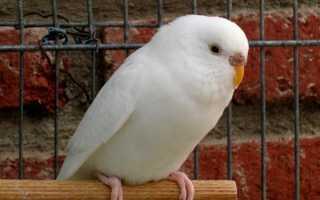 Волнистый попугай белого цвета