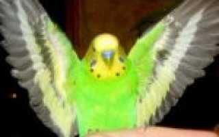 Волнистый попугай дрожит и расставляет крылья