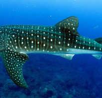 Китовая акула краткое описание