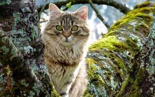Самый большой вид кошек