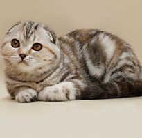 Вислоухие котята породы названия