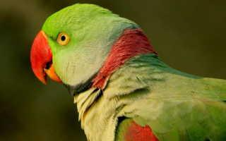 Александрийский попугай сколько живет