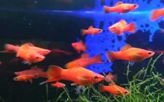 Меченосец рыбка содержание и разведение