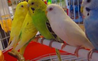 Как поют волнистые попугаи