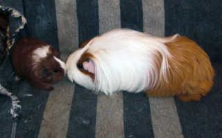 Свинка перестала есть