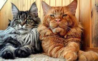 Окрасы кошек мейн кун