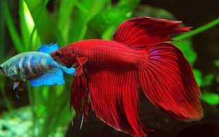 Рыба петушок уход и содержание кормление