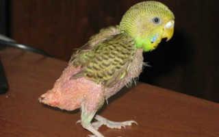Попугай выдирает перья