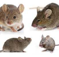 Виды полевых мышей
