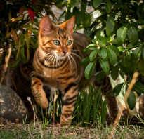 Порода кошек с окрасом тигра