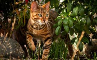 Порода кошек тигрового окраса название