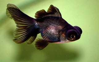 Как называется рыба с большими глазами