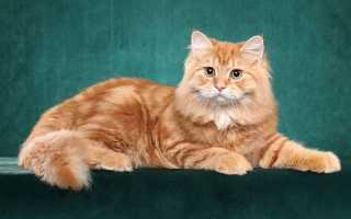 Порода рыжего кота