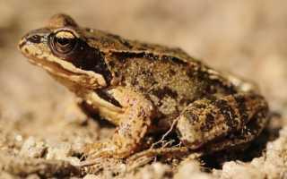 Сколько живет лягушка в среднем