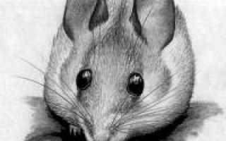 Мышь полевка рисунок