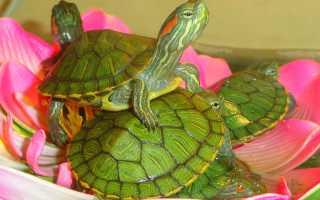 Декоративные черепахи красноухие