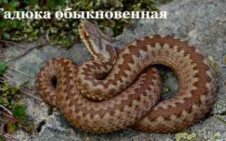 Яд змеиный отсосать