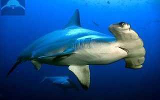 Бронзовая акула молот
